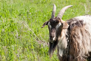 A portrait of a goat grazing in meadow