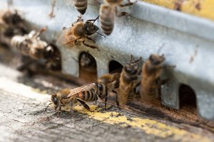 The bees at front hive entrance close-up