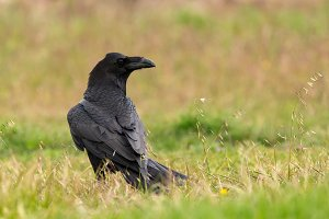 Bligh crow