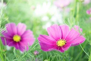 pink blossom daisy flowers
