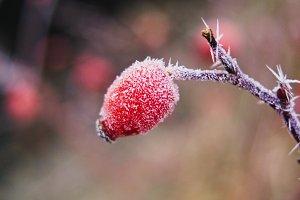 Frozen Rosehip