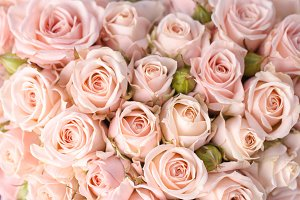 Bright pink roses backgroud