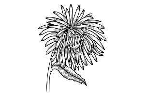black and white aster flower