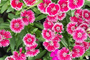 Dianthus flowers beautiful flowers