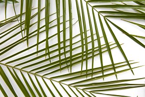 Branches of palm leaves presented