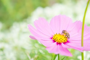 insect bee on pink flowers blossom