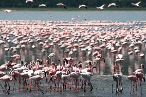 Flamingoes in the wildlife