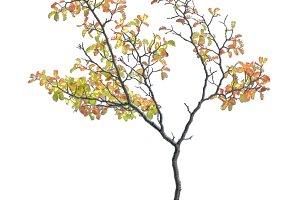 Isolated Autum Part Tree