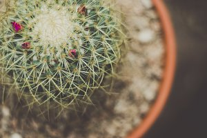 Prickly Potted Cactus