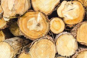 Cut trees trunks