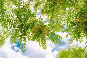 Spring blossom tree canopy