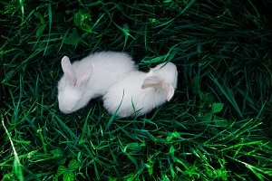 Two small white rabbits