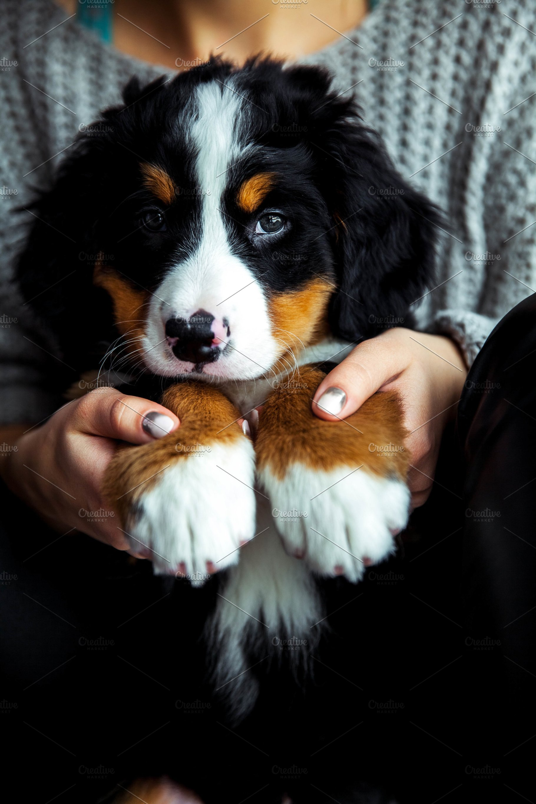 Little Puppy Of Bernese Mountain Dog On Hands Of Fashionable Girl With A Nice Manicure Animals Fashion