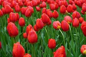 Field of red tulips in morning dew
