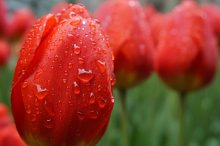 Close-up of red tulips in dew
