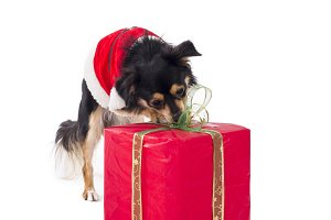 Cute dog opening christmas gift
