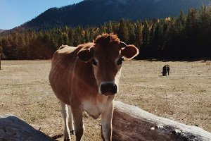 Free Range Cow in Mountains