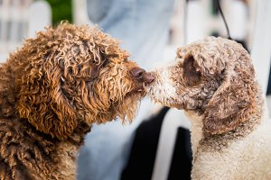 Water Dogs kissing