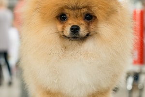 Pomeranian dog puppy