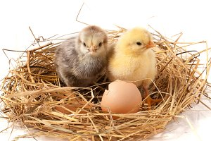 two baby chicken with broken eggshell in the straw nest on white background