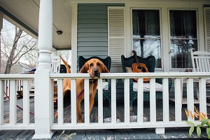 Blood hound on american porch