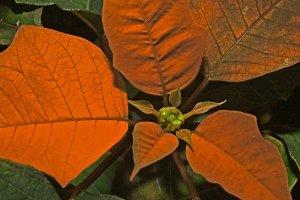 Poinsettia - Christmas Star Plant