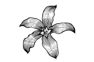 Lily Hand drawn