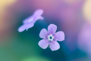 Purple forget-me-not flowers