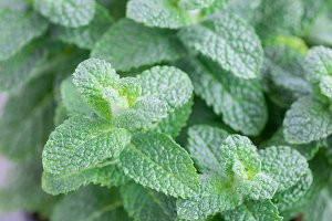 Apple mint growing in a pot, horizontal, close up