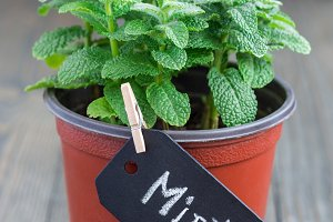 Fresh mint plant growing in a pot on wooden table, apple mint, vertical