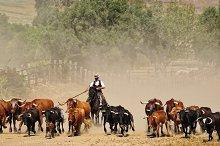 Fighting bulls.