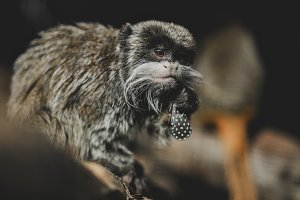 Emperor Tamarin chewing a feather