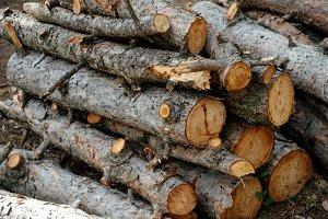 Fir woods. Woods.