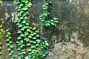 Ivy plant on old wall