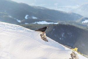 Black Bird in winter Landscape