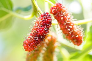 Mulberry fruit in farm
