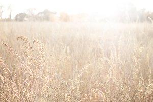 Tall Golden Grasses
