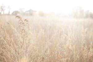 Tall Golden Grasses 2