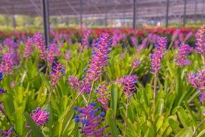 Bromeliad flower in farm