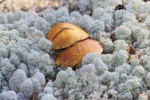 Mushrooms growing among lichen