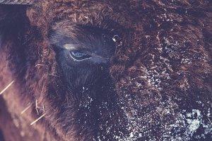 Animalistic Bison Wisent