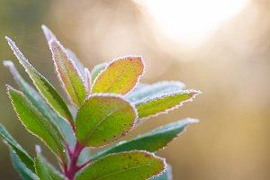 Frozen plant branch, winter