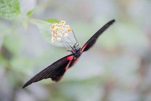 Scarlet Mormon, Papilio rumanzovia