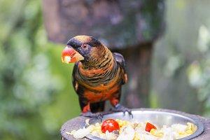 Parrot gloomy, Pseudeos fuscata