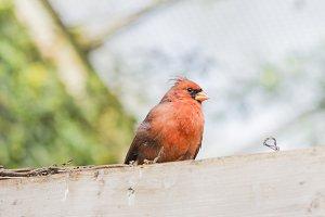 Northern Cardinal, Cardinalis cardin
