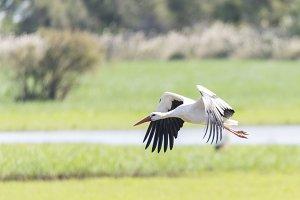 write stork, ciconia ciconia