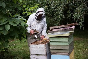 Beekeepers smoking the bees away from hive