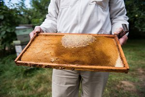 Beekeeper holding the beehive in wooden frame at apiary garden