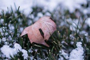 Fallen Maple Leaf on the Snowy Grass
