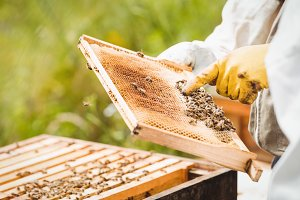 Beekeepers holding and examining beehive